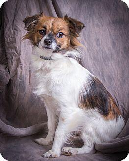 Pomeranian Mix Dog for adoption in Anna, Illinois - SASSY