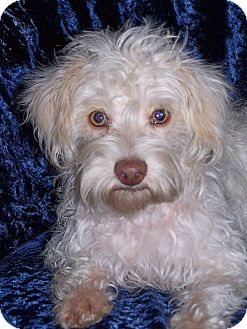 Maltese/Poodle (Miniature) Mix Dog for adoption in San Angelo, Texas - Montana