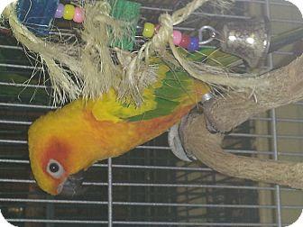 Conure for adoption in Punta Gorda, Florida - Nectar