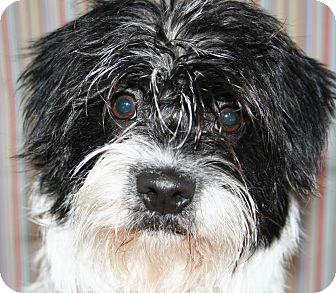 Shih Tzu/Dachshund Mix Puppy for adoption in Scottsdale, Arizona - Skittles