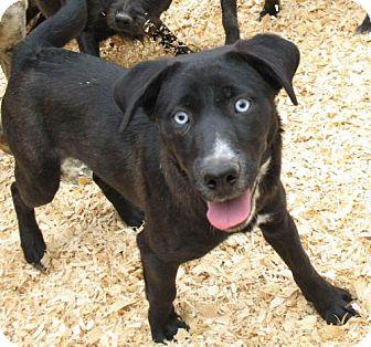 Australian Shepherd Lab Mix Puppies Blue Eyes My name is amanda - blue    Australian Shepherd Black Lab Mix Blue Eyes