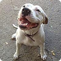 Adopt A Pet :: LAYLA - Encino, CA