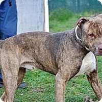 Adopt A Pet :: Trey - Tinton Falls, NJ