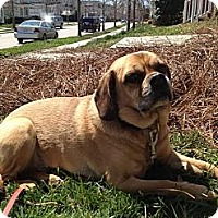 Adopt A Pet :: Sadie - Courtesy - Holly Springs, NC