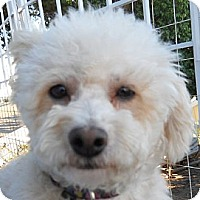 Adopt A Pet :: Holly - La Costa, CA