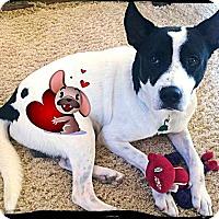 Adopt A Pet :: Moo - Johnson City, TX