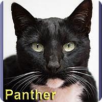 Adopt A Pet :: Panther - Aldie, VA