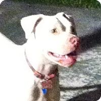 Adopt A Pet :: Snow - Miami, FL