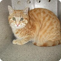 Adopt A Pet :: FERAL BUTTON - Reno, NV