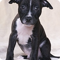 Adopt A Pet :: Nick - Chicago, IL