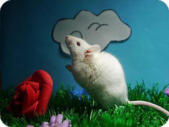 Mouse for adoption in Welland, Ontario - Potato