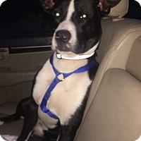 Adopt A Pet :: Cody - Homer, NY