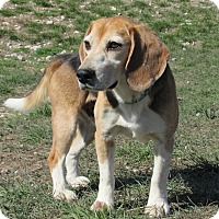 Beagle Mix Dog for adoption in Hartville, Wyoming - Oliver - Application Pending
