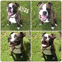 Boxer/English Bulldog Mix Dog for adoption in Cranston, Rhode Island - Atlas