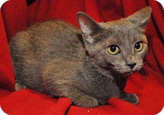 Domestic Shorthair Kitten for adoption in Garland, Texas - Delilah