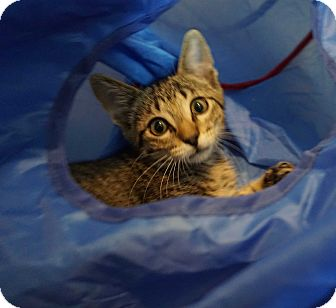Domestic Mediumhair Kitten for adoption in Houston, Texas - Toby