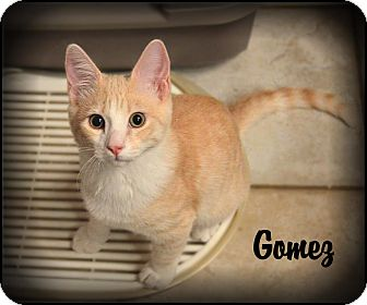 Domestic Shorthair Kitten for adoption in Sherman Oaks, California - Gomez