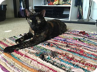 Domestic Shorthair Cat for adoption in Chino Hills, California - Glam (a loving chatterbox!)