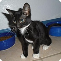Adopt A Pet :: Sansa - Westminster, CO