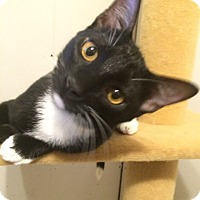 Domestic Shorthair Kitten for adoption in Madisonville, Louisiana - Arthur