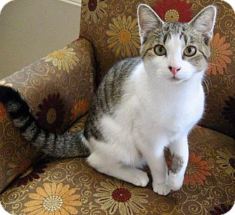 Domestic Shorthair Cat for adoption in Beverly, Massachusetts - SPARKY