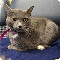 Domestic Shorthair Cat for adoption in Delaware, Ohio - Misty
