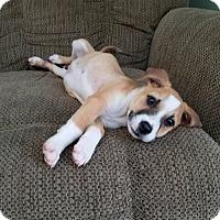 Boxer Mix Puppy for adoption in Matawan, New Jersey - Dakota (adoption pending)