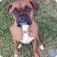 Adopt A Pet :: A - MISSY - Boston, MA