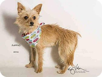 Yorkie, Yorkshire Terrier/Chihuahua Mix Dog for adoption in Seattle, Washington - Cece Bean