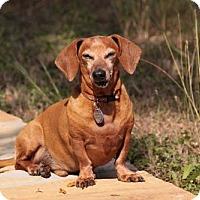 Adopt A Pet :: Mango - San Antonio, TX
