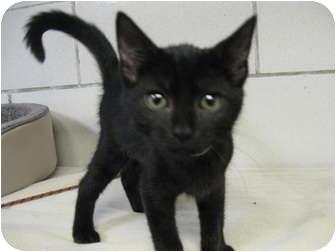 Domestic Shorthair Kitten for adoption in Centerburg, Ohio - S'more