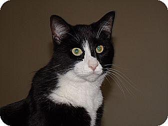 Domestic Mediumhair Cat for adoption in Scottsdale, Arizona - Sweet, loving Orlando