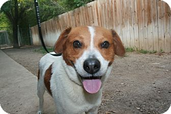 Mikey Adopted Dog San Antonio Tx Harrier Australian