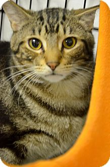 Domestic Shorthair Cat for adoption in Muskegon, Michigan - Cody