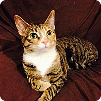Calico Kitten for adoption in Chatsworth, California - CLOCKWORK