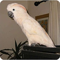 Adopt A Pet :: BAM BAM - Mantua, OH