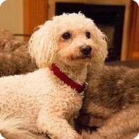 Poodle (Miniature) Mix Dog for adoption in Woodinville, Washington - Spencer