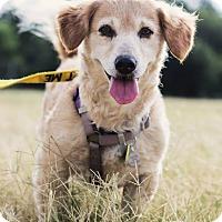 Adopt A Pet :: Ginger Rogers - Austin, TX