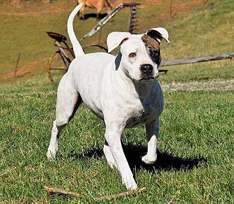Boxer Mix Dog for adoption in Arden, North Carolina - Femma