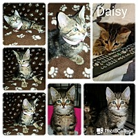 Adopt A Pet :: Daisy - Arlington/Ft Worth, TX