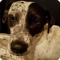 Blue Heeler Mix Dog for adoption in Snyder, Texas - Charlie