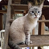 Siamese Cat for adoption in Spring, Texas - Bebe