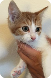 Domestic Shorthair Kitten for adoption in Meridian, Idaho - Skippy