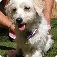 Adopt A Pet :: Bella Mia - Ventura, CA
