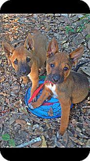 Shepherd (Unknown Type)/Corgi Mix Puppy for adoption in Albertville, Minnesota - River