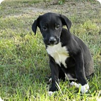 Adopt A Pet :: Brody - Foristell, MO
