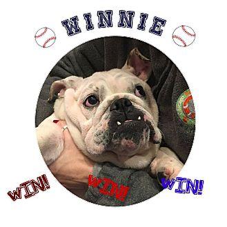 English Bulldog Dog for adoption in Park Ridge, Illinois - Winnie