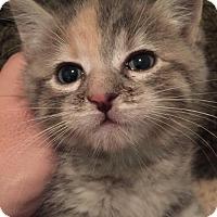 Domestic Shorthair Kitten for adoption in Herndon, Virginia - Britt
