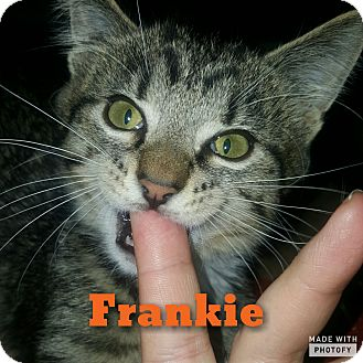 Domestic Shorthair Kitten for adoption in Cincinnati, Ohio - Frankie