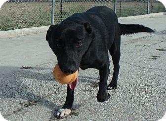 Labrador Retriever Mix Dog for adoption in Seguin, Texas - Godiva